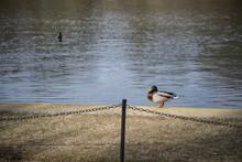 Duck Beside A Lake