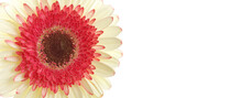 White And Red Gerbera Flower Isolated On White Horizontal Long.