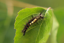 The Caterpillars Eat Birch Leaves. Gluttony, Insects In Nature, Pests In The Natural Environment