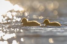 Greylag Goose Chicks