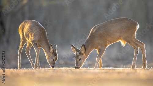 Fotografie, Obraz Two Roe deer on clearing