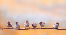 Flock Small Sparrow Chicks Sit On A Branch In A Sunny Garden