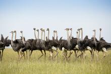 Flock Of Juvenile Masai Ostriches, Masai Mara Game Reserve, Kenya