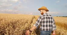 Rear Of Caucasian Happy Male Cultivator In Hat Walking In Golden Field And Touching Wheat Ears On Sunny Day Outdoor. Portrait Of Handsome Farmer Checking Wheat Harvest In Countryside. Rural Concept
