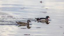Female And Male Wood Duck Pair In The Lake