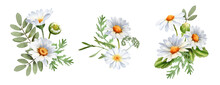 A Bouquet Of Chamomile Daisy Flowers. Wildflowers For Wedding Invitations And Greeting Cards. Watercolor Illustration. Realistic Flower Botany