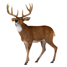 Whitetail Buck Walking - The Whitetail Deer Is A Herbivorous Ruminant Mammal That Lives In North And South America In Herds.