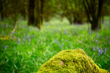Tree Stump Covered In Moss With Bluebell Wood Blurred Background