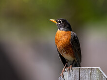 Male American Robin Perched On Fence.