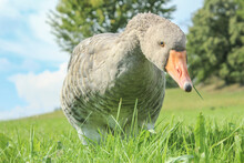 Portrait Of  A Gray Goose On A Meadow