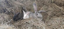 Rabbit In The Grass. Two Rabbits In The Hay. Farm, Rabbit Breeding. Grey And White Rabbits In The Garden.