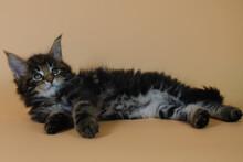 Little Cute Dark Kitten Coloring Tobby. Lies On A Plain Beige Background