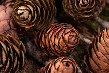 Dry Brown Pine Cones Bunched Up Together In A Forest On The Ground Close Up Shot