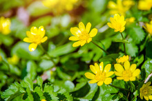 Yellow Lesser Celandine Flowers In Spring On A Green Natural Background
