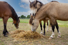 Shared Lunch- Three Pretty Ponies Eating Hay In Field In English Countryside On A Winters Day.