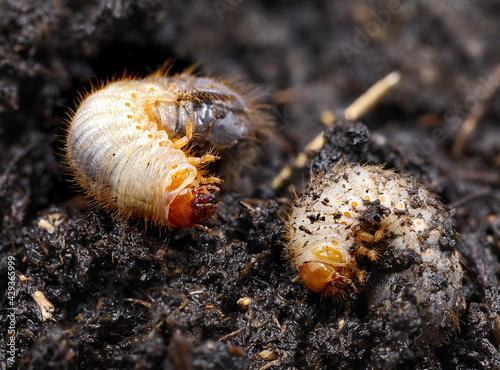 Canvastavla chockchafer, white grub, Melolontha vulgaris, close up of may beetle larvas on s