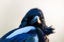 Portrait Of Eurasian Magpie In The Wild