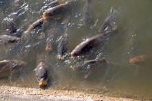 Carp Feed At Edge Of Pond