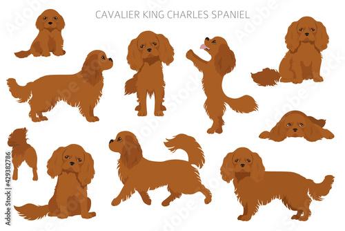 Fototapeta Cavalier King Charles spaniel clipart. Different poses, coat colors set obraz