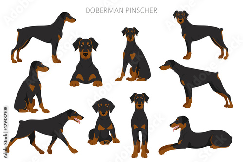 Fotomural Doberman pinscher dogs clipart. Different poses, coat colors set