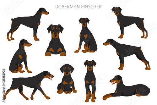 Doberman pinscher dogs clipart. Different poses, coat colors set Fotobehang