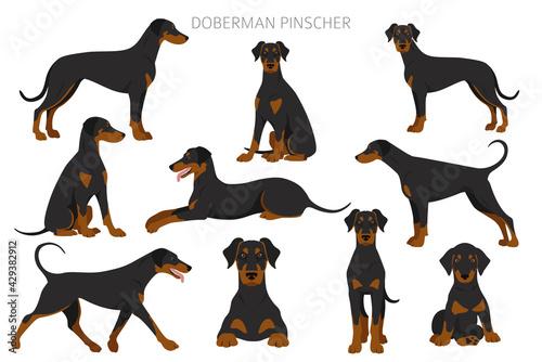 Foto Doberman pinscher dogs clipart. Different poses, coat colors set
