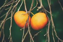 Tangerine Garden With Fruits