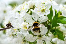 Bumblebee Pollinates Fruit Trees In The Garden, During Flowering, Cherry Inflorescences