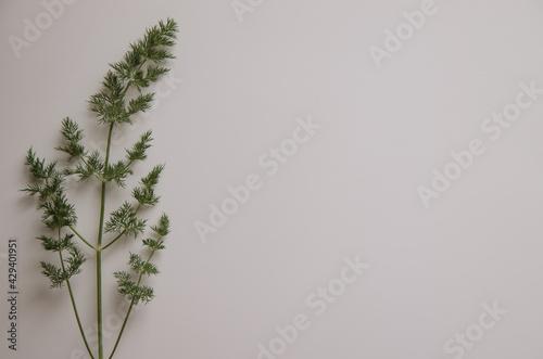 Fototapeta Detalle de rama de eneldo  en fondo blanco obraz