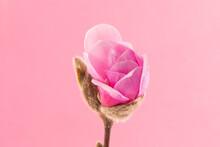 Beautiful Pink Flowering Magnolia Blossom