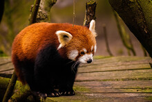 Closeup  Of A Cute Red Panda Standing On A Wooden Road