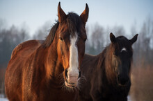Portrait Of  Two Horses In Different Colors (bay With White Blaze In Foreground And Black With White Star In Background ) In Rays Of Winter Evening Sunset. Forest In The Background