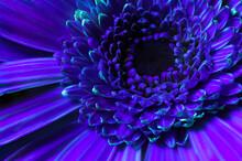 Vibrant Orange Gerbera Flower Close-up. In UV Light