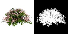 Front View Of Plant Flower (Deutzia Yuki Cherry Blossom Deutzia 1) Tree Png With Alpha Channel To Cutout Made With 3D Render