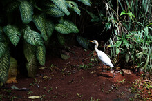 Egrets Are Roaming In The Wild