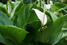The Tranquil Peace Lily. White Peace Lily