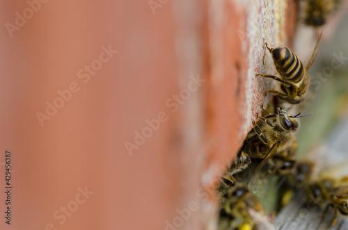 Wallpaper Mural Pszczoła miodna