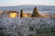Cerisiers En Fleurs Au Printemps. Le Mont Ventoux En Arrière Plan. Provence, France. Lever De Soleil.