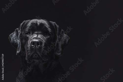 Fototapeta Single dog labrador retriever breeds in dark background