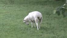 Shaven Sheep