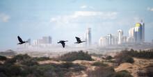 Three Cormorants Flying