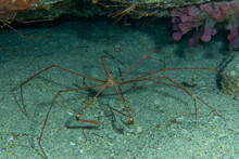 Sea Spider In The Sea Over The Sand And A Anemone In The Top Of The Picture