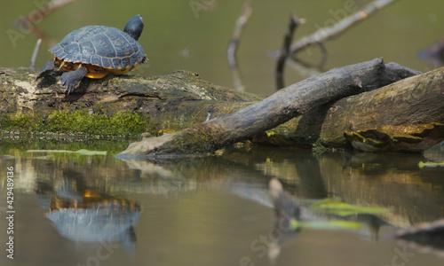 Fototapeta Turtle in the pond obraz