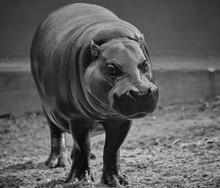 Pygmy Hippopotamus In Black And White