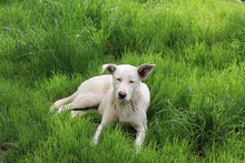 A Large White Dog Lies On The Green Grass