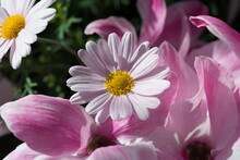 Light Pink Daisies With Yellow Centres Nestled In Medium Pink Cyclamen Petals All Bathed In An Ethereal Light