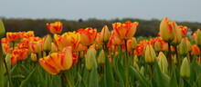 Multiple Colored Tulips In Bloom
