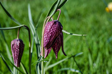 Purple Fritillaria Meleagris