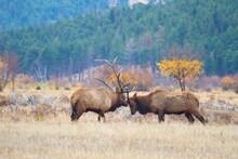 Two Massive Bull Elk Lock Antlers During Elk Rut.