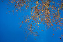 Shot Of Bare Tree Branches With Blue Sky On The Background